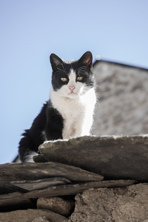 calico whiskers: White and black Cat On The Roof