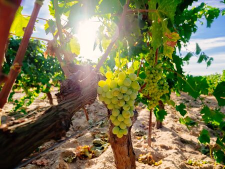 organic plants: Fresh Green grapes on vine. Summer sun lights Stock Photo