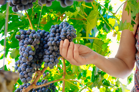 wine grower: woman hands picking grape during wine harvest