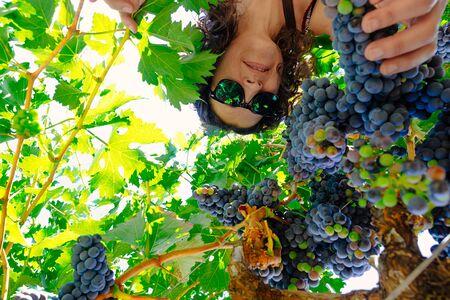 wine grower: Below view of woman picking grape during wine harvest