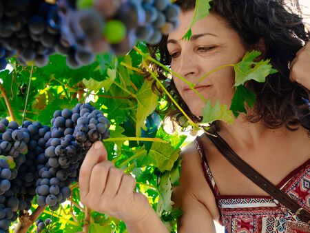 wine grower: Women picking bunch of grapes Stock Photo