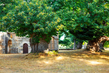 centenary: Centenary chestnut trees in ancient Celtic settlement