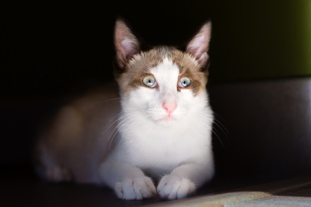 light brown: Portrait of Light brown and white cat isolated on dark background