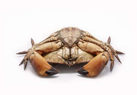 Fresh raw edible brown sea crab isolated on white background.