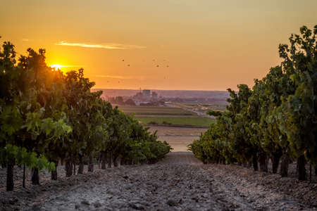 Beautiful scenic vineyard with sunset sky. Vineyard landscape in wine land country of Spain, Toro Wine Region.