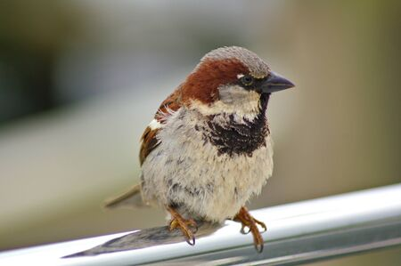 Male sparrow perched on a metal rail