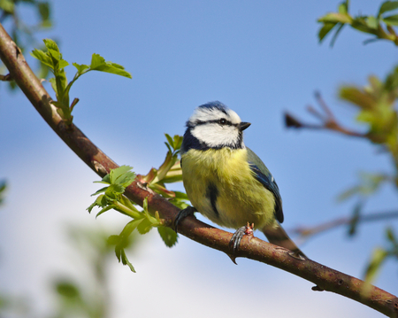 Blue tit perched on a wild rose before a blue sky
