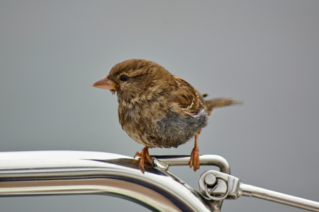 Female sparrow perched on a metal rail