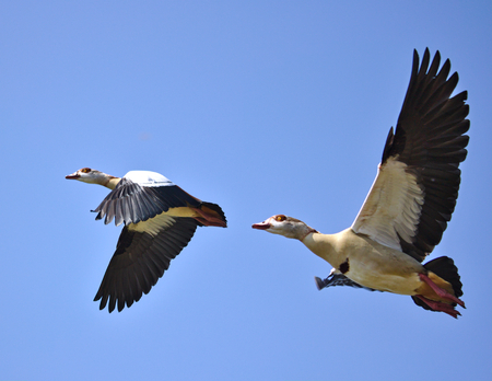 alopochen: Two egyptian geese in flight in front of a blue sky