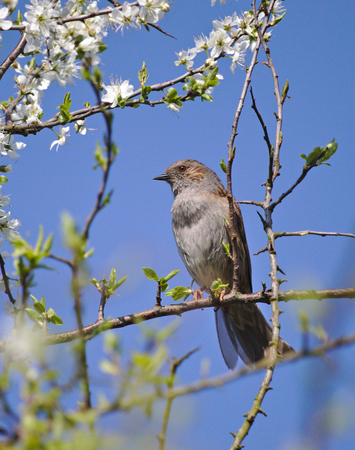 Spotted flycatcher perched on a hawthorne branch in front of a blue sky Stock Photo
