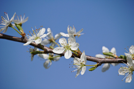 Hawthorn branch in bloom in front of a blue sky
