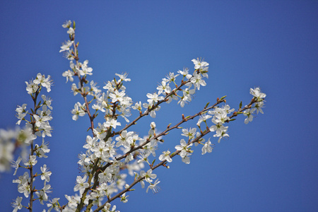 laevigata: Hawthorn branches in bloom in front of a blue sky