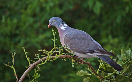 Common wood pigeon perched on a branch in front of a green background Фото со стока