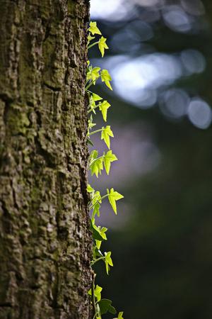 Helle grüne Reben klettern einen Baumstamm