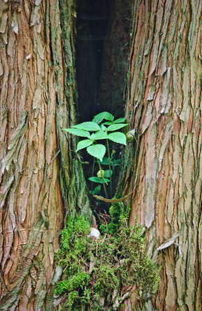 Forked tree with small green plant and snail in the middle Stock Photo