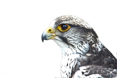 Closeup portrait of a gyrfalcon