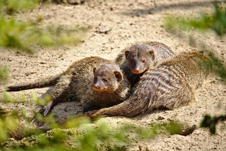 Three banded mongooses huddled together in the hot desert sand Фото со стока