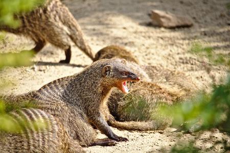 Banded mongoose baring its sharp fangs