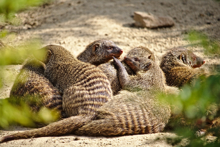 Family of six banded mongooses huddled together in the hot desert sand Фото со стока