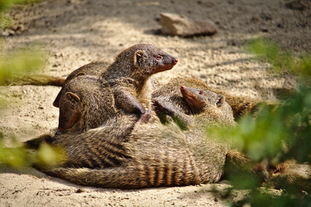 Family of six banded mongooses huddled together in the hot desert sand Фото со стока - 87241499
