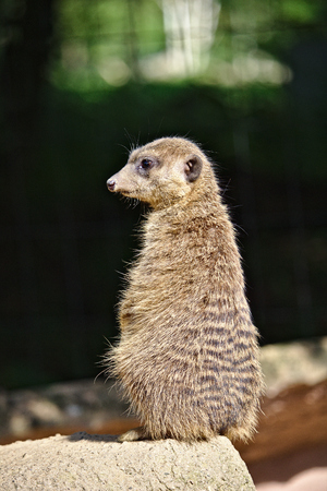 Meerkat sitting upright guarding its colony Фото со стока - 87941546