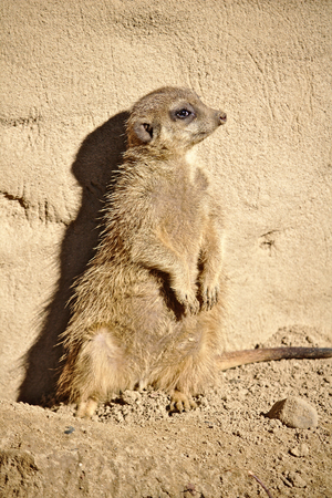 Meerkat sitting upright and leaning against a rock Фото со стока
