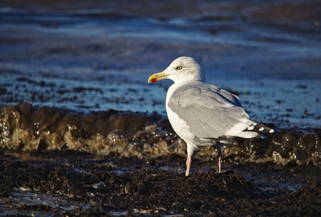 Adult herring gull lit by bright sunlight standing on the beach near the flood line