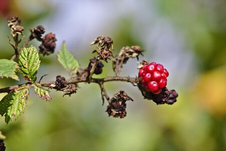 shrubbery: Raspberry on a branch with green and brown dead leaves
