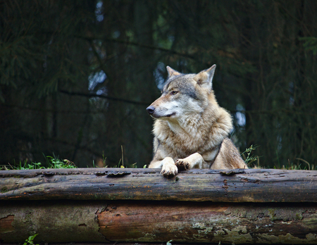 Wolf resting on top of two decaying logs Stock Photo