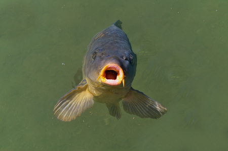 Common carp breaking the surface waiting to be fed