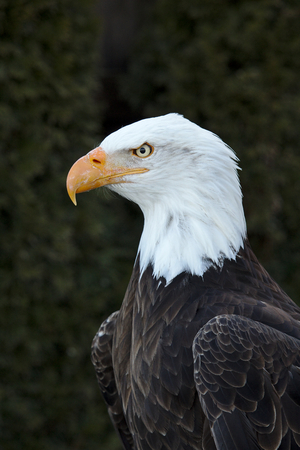 Portrait of an adult bald eagle 写真素材