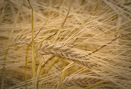 Ear of barley in the middle of a barley field shortly before the harvest