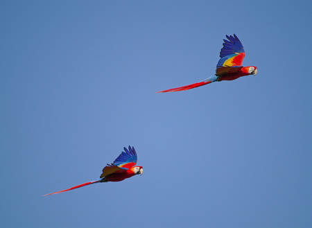 Two scarlet macaws flying side by side with blue sky in the background