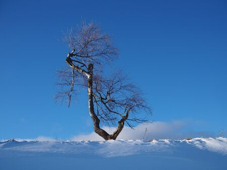 Solitary birch tree lit by the evening sun in front of a blue sky in a snowy winter landscape 版權商用圖片