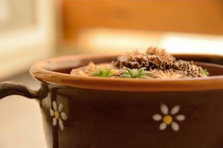 Vaso di fiori mattino - pianta Grassa