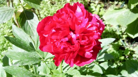 red roses backgrounds, colored flora outdoor park in spring, is a full red rose herba , italy