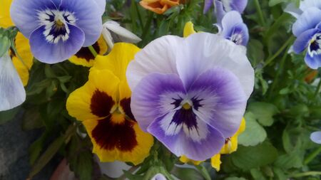 purples: flowers yellow and pourple backgrounds, colored flora outdoor park in spring , italy Stock Photo