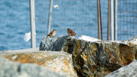 Sparrows looking at each other on rocks