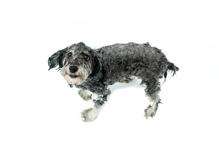 A furry dog is showering and is wet. He looks funny and cute.