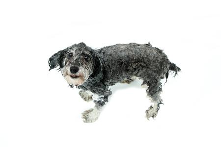 Un cane peloso sta facendo la doccia ed è bagnato. Sembra divertente e carino.