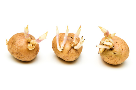 A picture of three germinating potatoes with scions. Banque d'images