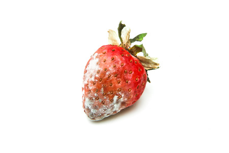 One mouldy strawberry. Rotten and uneatable. Isolated on white background.