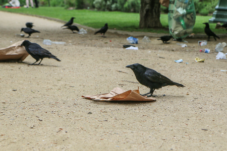 A Picture of a flock of crows eating garbage from a trash bin and doing mess in the public park.