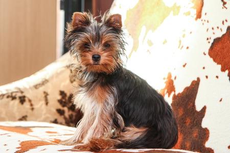 Una giovane ragazza carina dell'Yorkshire terrier è in posa sul divano.