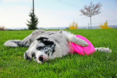 A cute dog is lying on a grass and holding its flying disk.