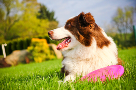 A cute dog is lying on a grass and holding its flying disk..