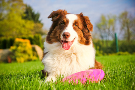 A cute dog is lying on a grass and holding its flying disk.. 写真素材 - 124948186