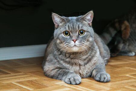 Une photo d'un joli chat britannique allongé sur le sol, l'air un peu idiot, mais détendu.