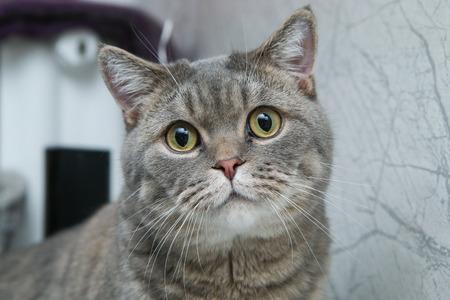 Une photo d'un joli chat britannique, l'air un peu idiot. Banque d'images