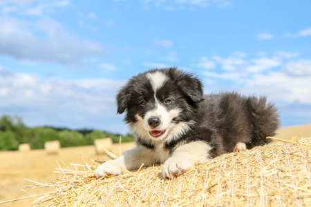 A cute puppy is lying on the hay bale and smiling.